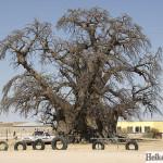 Baobab, Outapi, Namibia