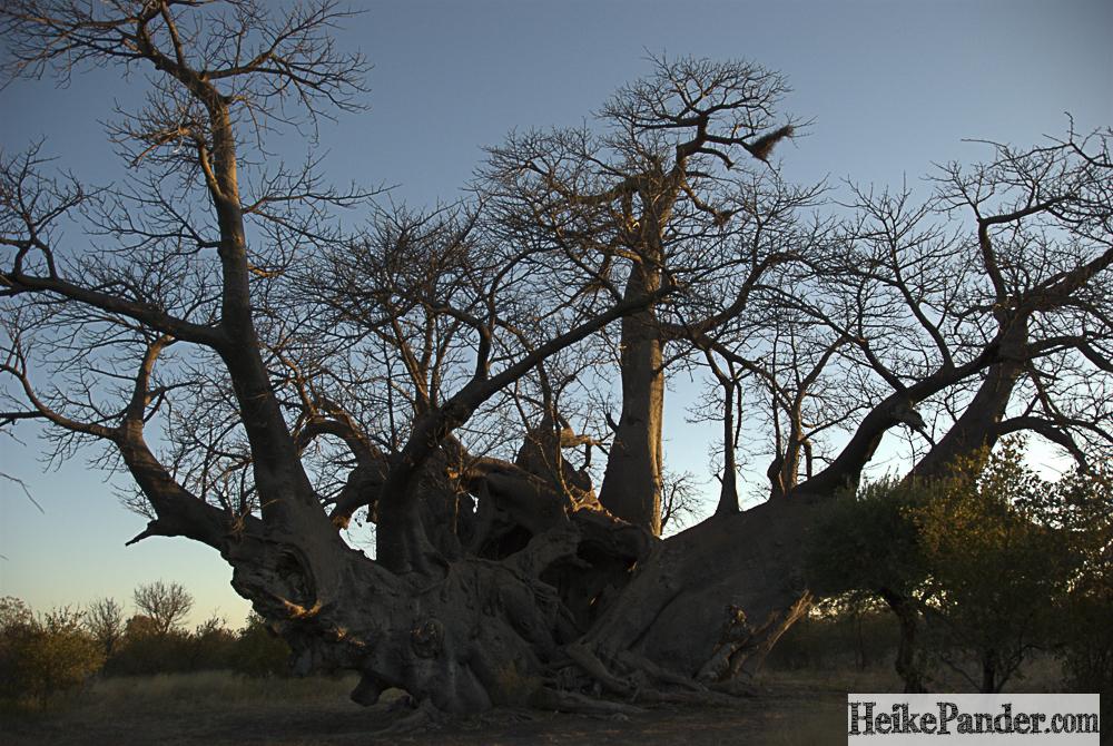 Holboom, Tsumkwe, Namibia