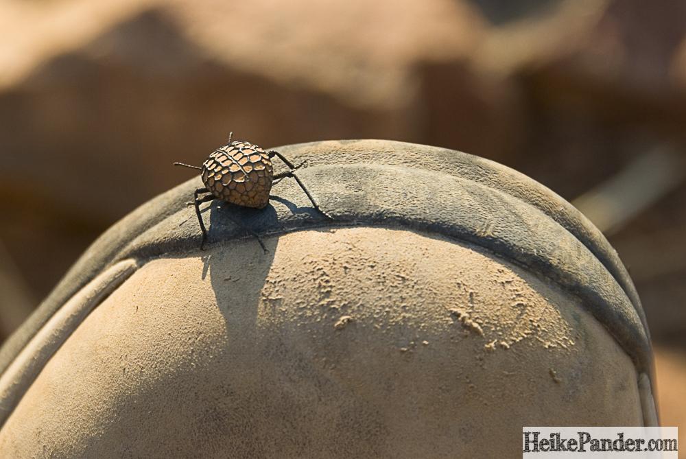Käfer auf Schuh