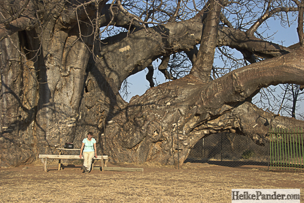 Sagole Big Tree, Südafrika