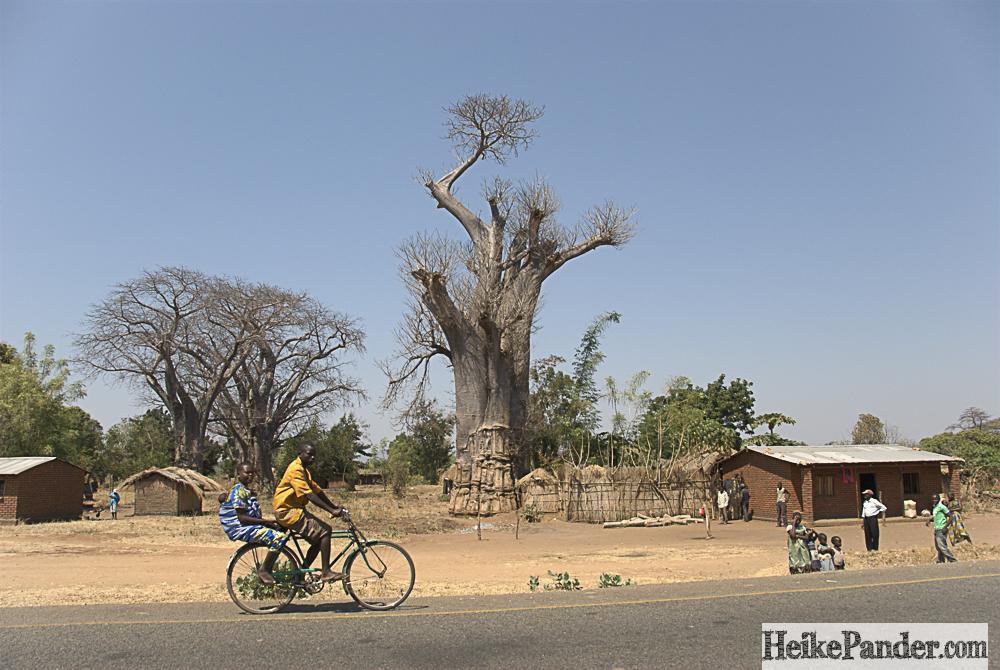 Baobab, Malawi
