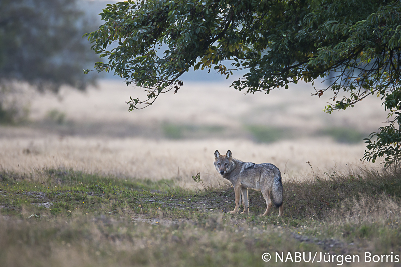 Wolf in der Lüneburger Heide