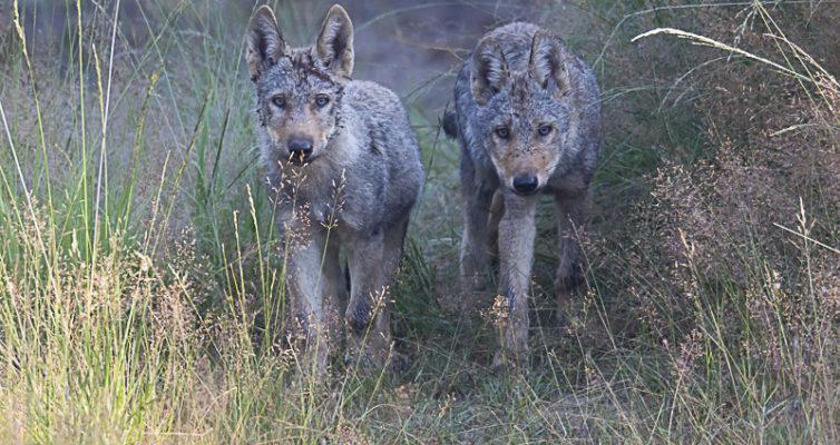 Wolfswelpen in der Heide