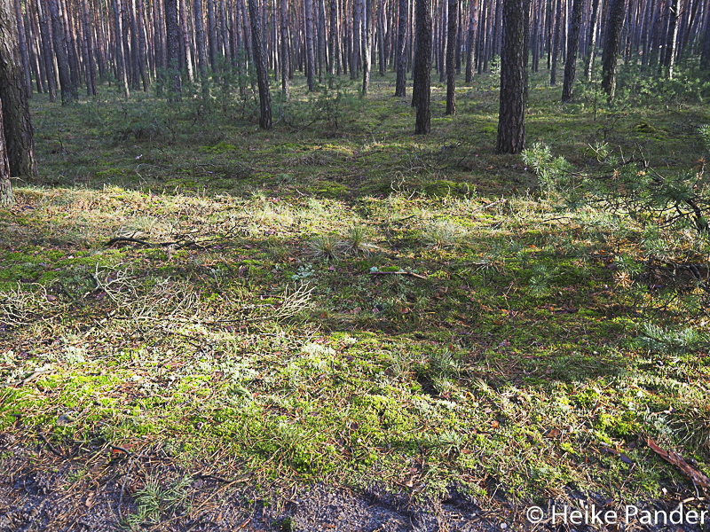 Deer crossing, pine forest, Hoher Fläming, Brandenburg[/caption] <!-- Simple Share Buttons Adder (6.1.5) simplesharebuttons.com --><div class=