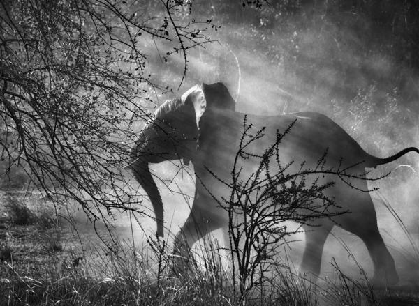 "Elefant, Kafue Nationalpark, Sambia, 2010, Sebastiao Salgado, Amazonas Images, Fotografie in der Ausstellung ""Genesis"", C/O Galerie Berlin"