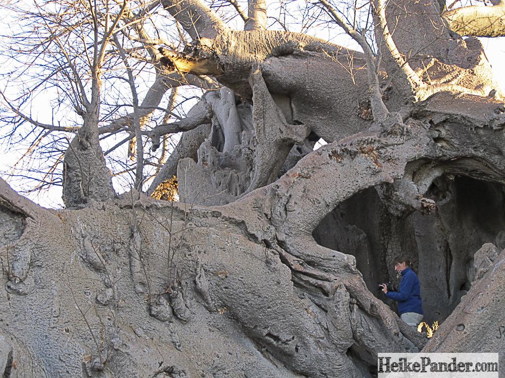 Baobab, Tsumkwe, Namibia