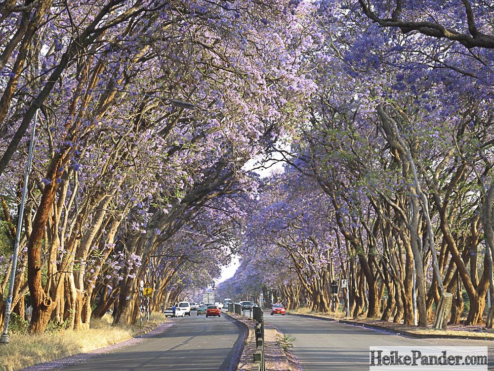 Jacarandablüte, Harare, Simbabwe