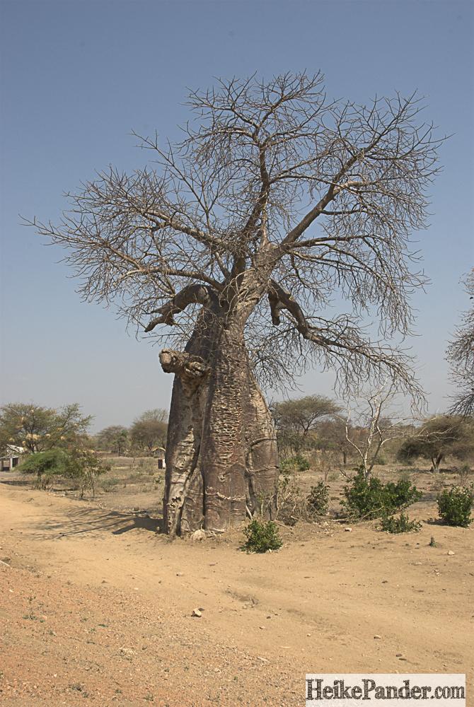 Baobab, an der Straße, Malawi