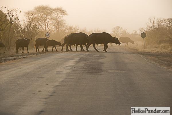 Afrikanische Büffel