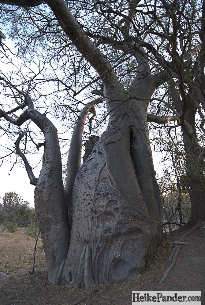 Baobab, Liwonde, Malawi