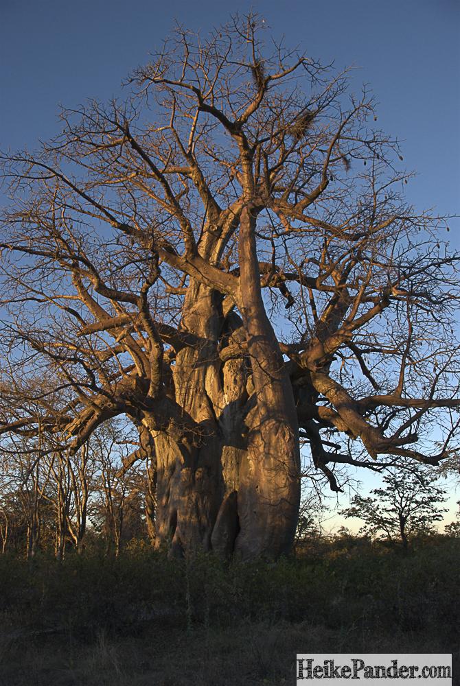 Baobab, Planet Baobab, Botswana