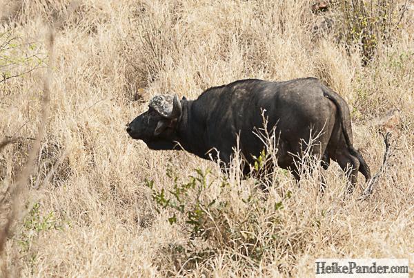 Afrikanischer Büffel, Punda Maria