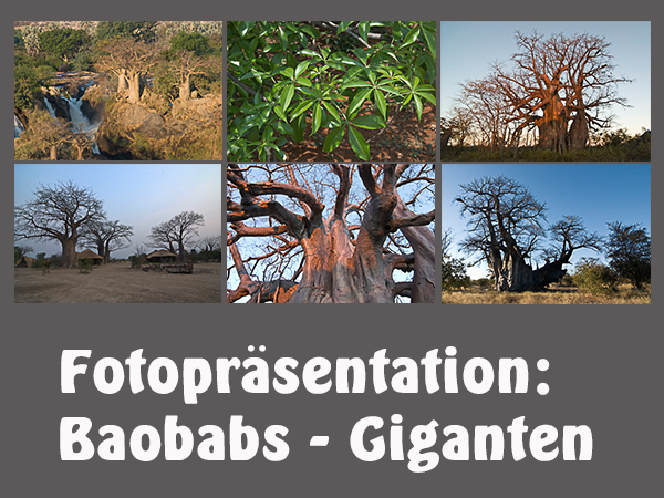 Baobabs_Giganten_130316