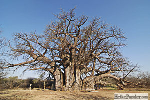 Sagole Big Tree, South Africa, Heike Pander