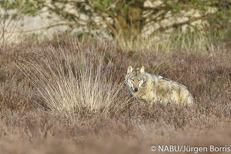 Wolf in der Heide