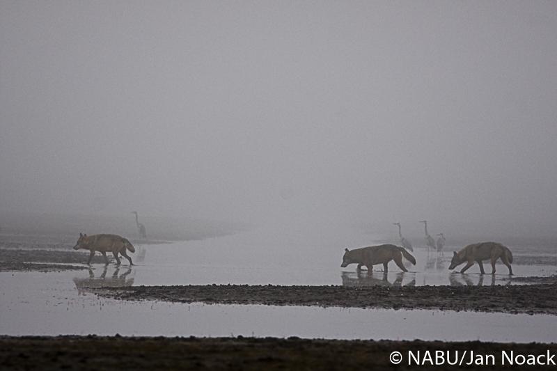Wölfe in Lausitzer Teichgebiet