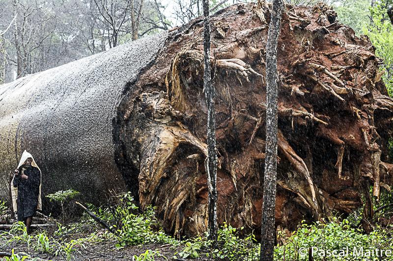 """Während eines Zyklons umgefallener Baobab, in der Ausstellung """"Baobab – der Zauberbaum"""" im NHM, Wien, Pascal Maître"""