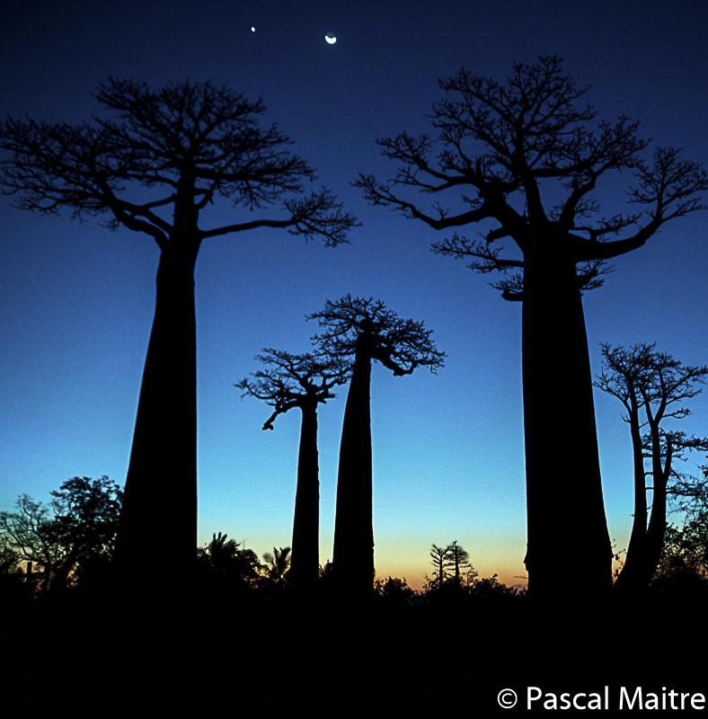 """Baobabs in der Dämmerung, Madagaskar, Ausstellung """"Baobab – der Zauberbaum"""", NHM Wien, Pascal Maître"""