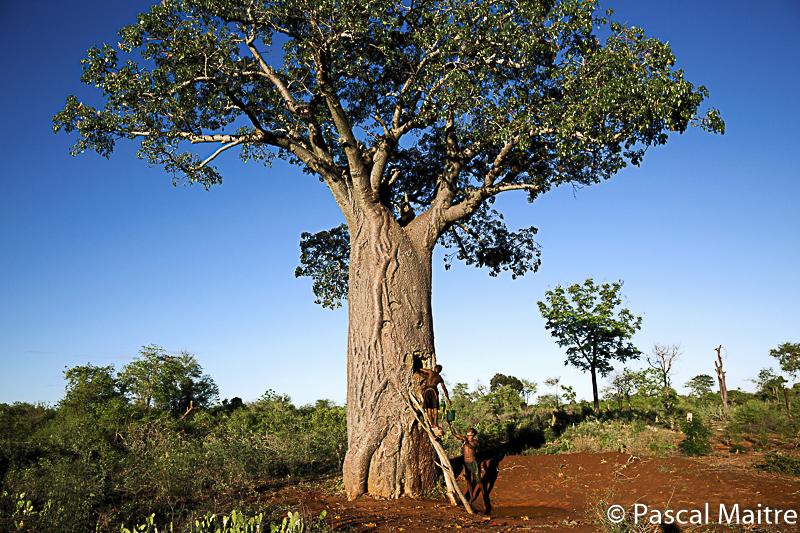 """Adansonia ZA, von den Menschen als Zisterne genutzt, in der Ausstellung """"Baobab – der Zauberbaum"""" im NHM Wien, Pascal Maître"""