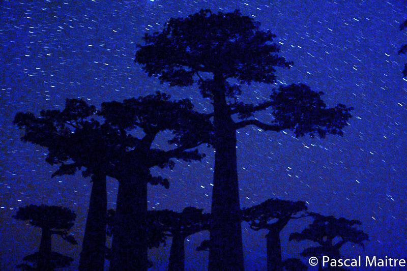 """Die Allée der Baobabs in Morondava bei Nacht, in der Baobab Ausstellung """"Baobab – der Zauberbaum"""" im NHM, Wien, Pascal Maître"""