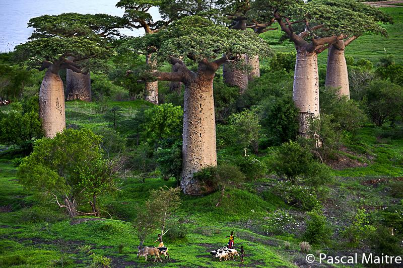 "Ampanonga Baobabam Fluß Mangoky, in der Ausstellung ""Baobab – der Zauberbaum im NHM, Wien, Pascal Maître"
