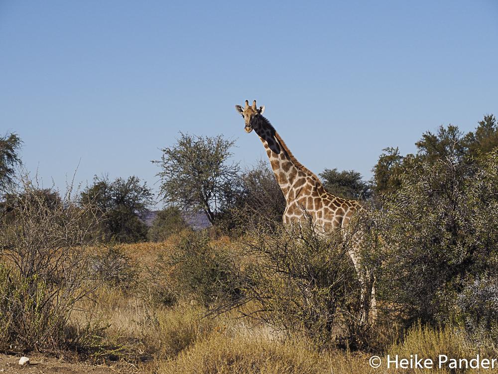 Giraffe, Nähe Windhoek, Namibia