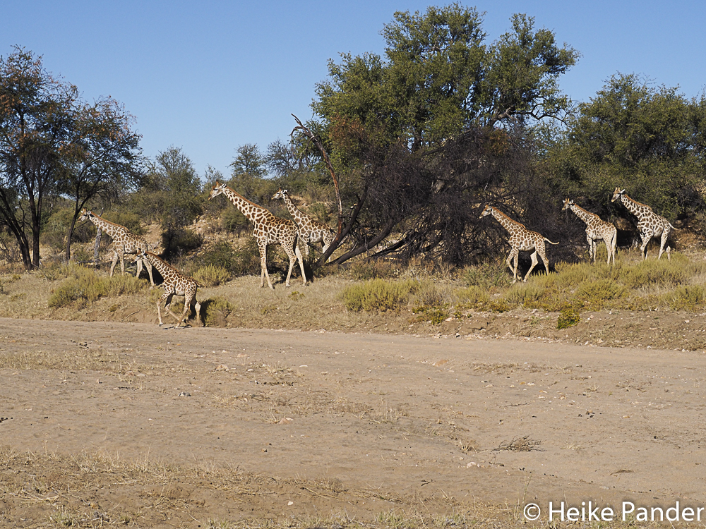 Giraffen, Nähe Windhoek, Namibia