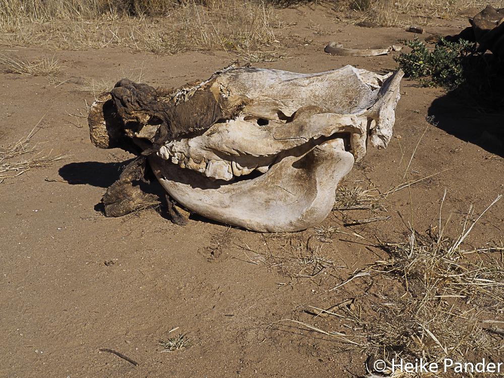 Nashornkadaver, Breitmaulnashorn, Nähe Windhoek, Namibia, Heike Pander