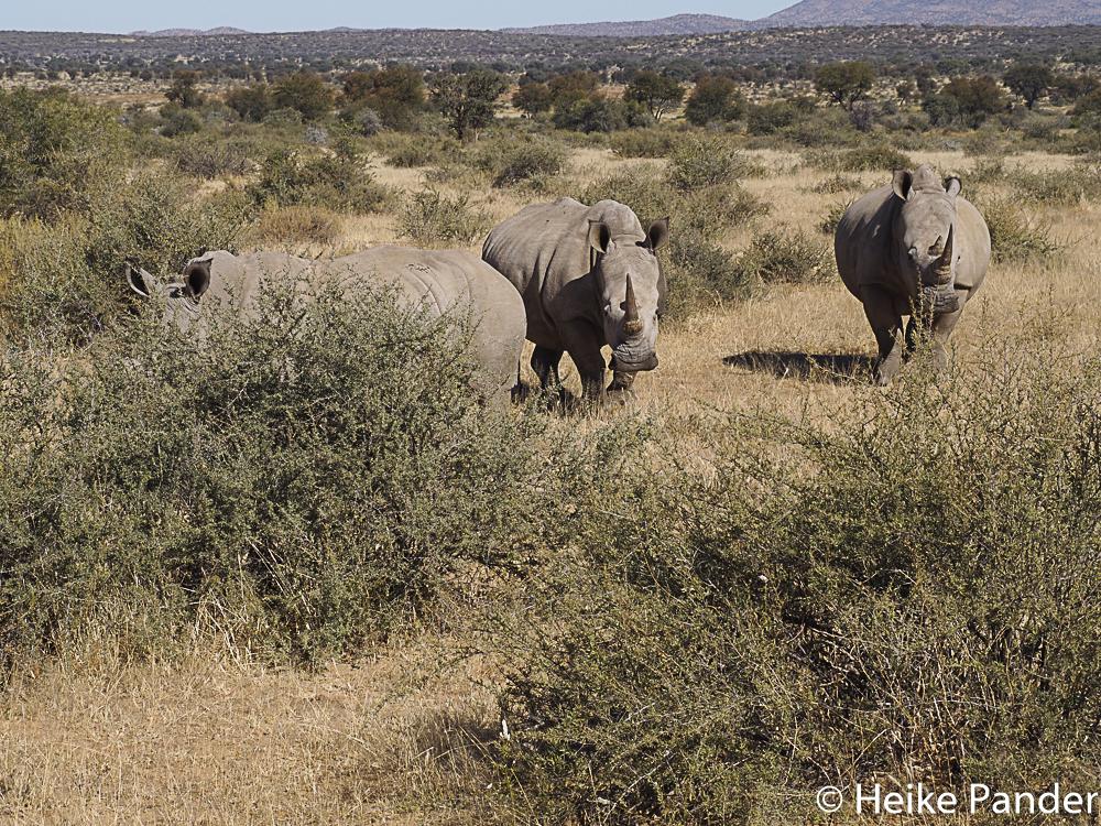 Breitmaulnashörner, zwei Kühe, ein Bullenkalb, Nähe Windhoek, Namibia, Heike Pander