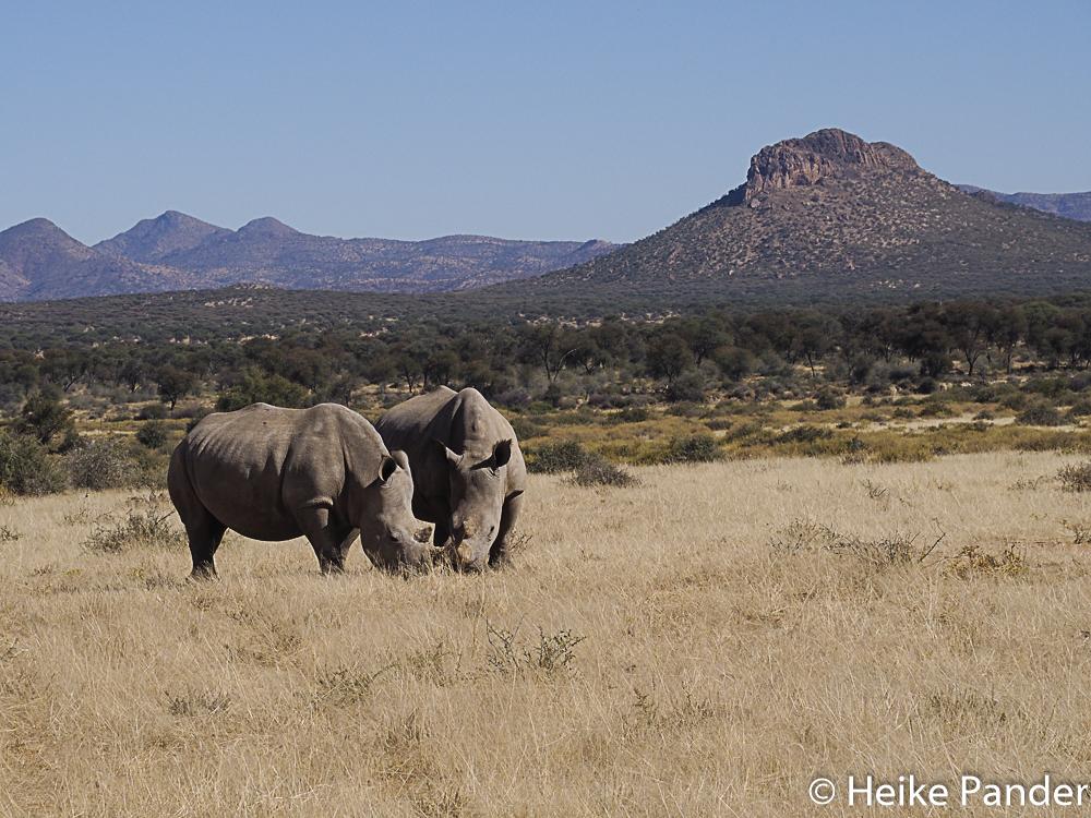 Breitmaulnashörner, Nähe Windhoek, Namibia, Heike Pander