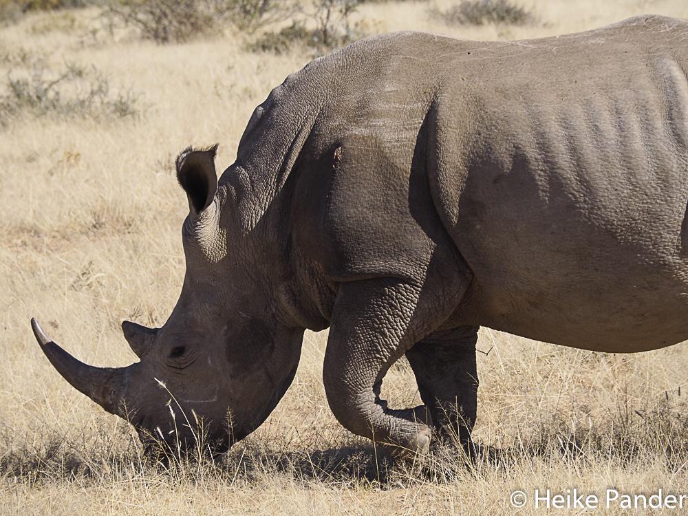 Gewilderte Nashornkuh, Einschußwunde auf linker Schulter, Nähe Windhoek, Namibia, Heike Pander
