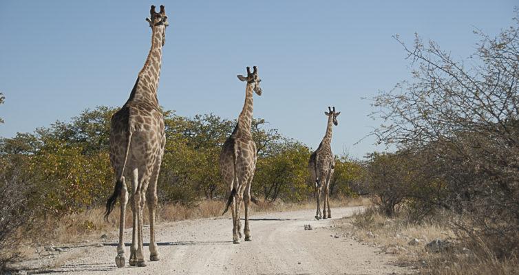 Giraffen, Etoscha, Namibia