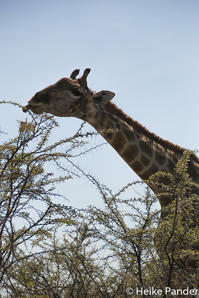 Giraffe, Etoscha, Namibia