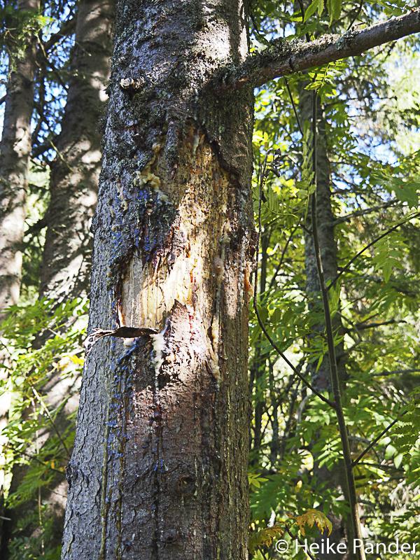 Kratzbaum mit Spuren von Bärentatzen & Harz, Bärenwanderung in