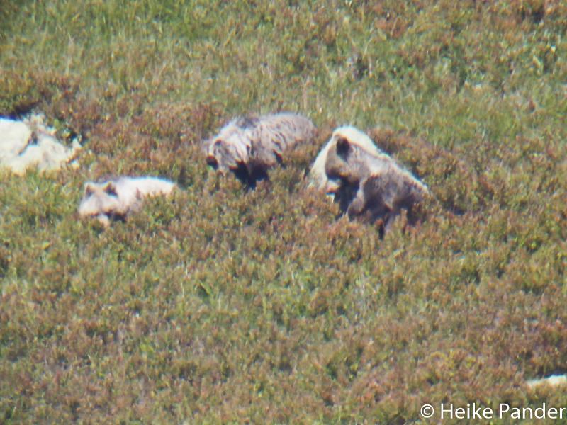Braunbären, Bärenwanderung, Slowakei