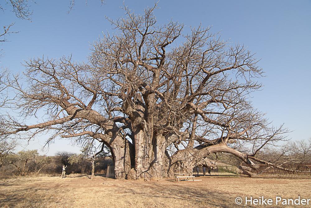Sagole Big Tree, Limpopo Südafrika, Heike Pander