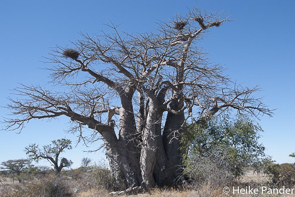Greens Baobab Botswana, Heike Pander