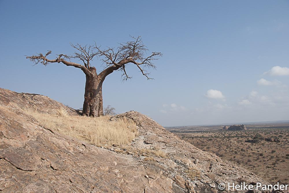 Rhodes Baobab, Mmamagwa, Mashatu, Botswana