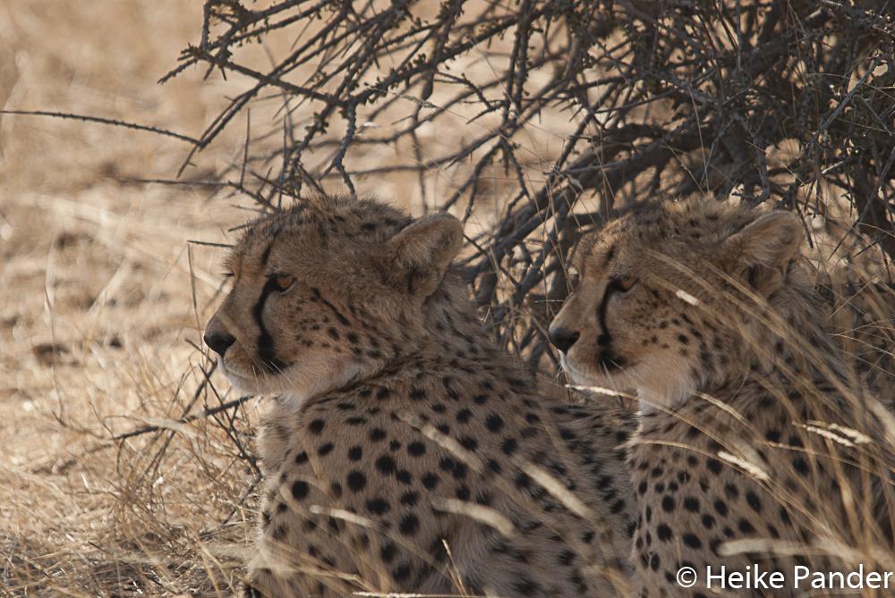 Cheetah, Mashatu Central, Botsuana