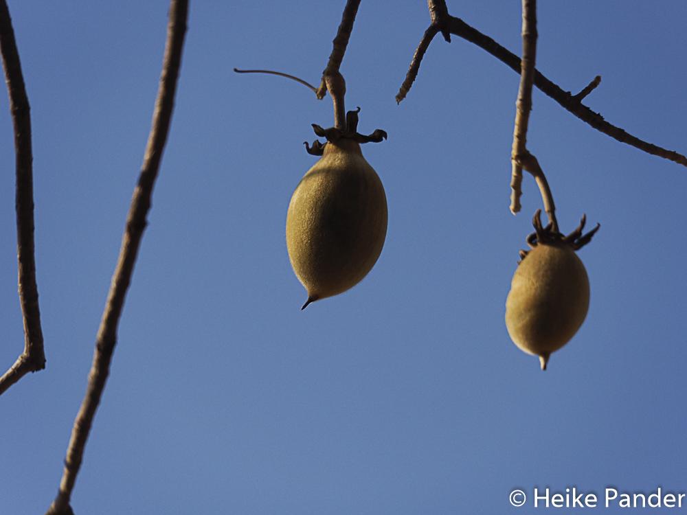Baobab Fruit, Limpopo Province, South Africa, © Heike Pander