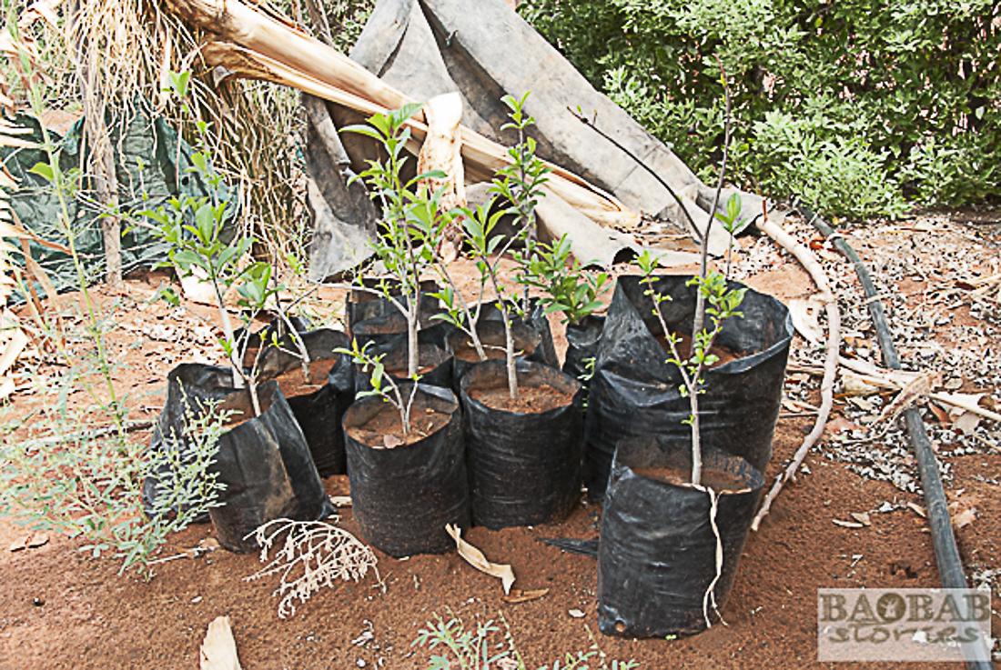 Baobab Setzlinge warten auf das Auspflanzen, Limpopo, Südafrika, Heike Pander