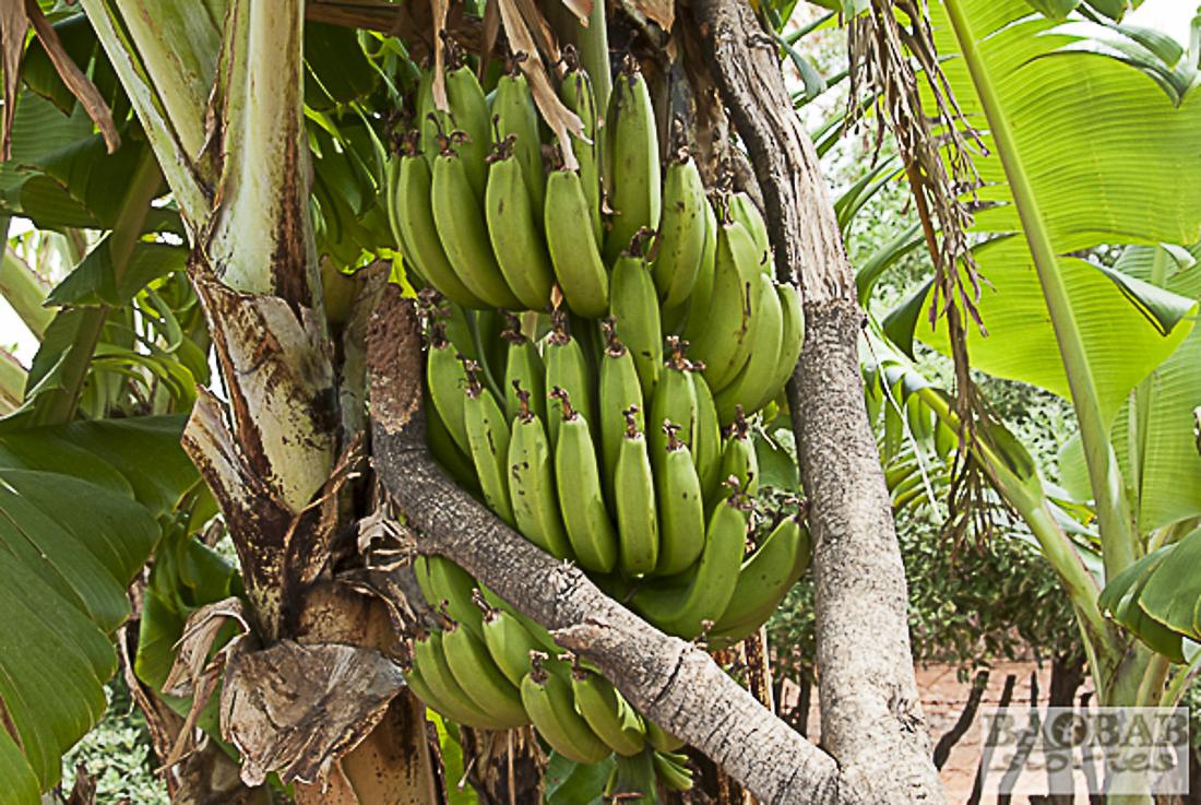 Bananen im Hausgarten, Südafrika, Heike Pander