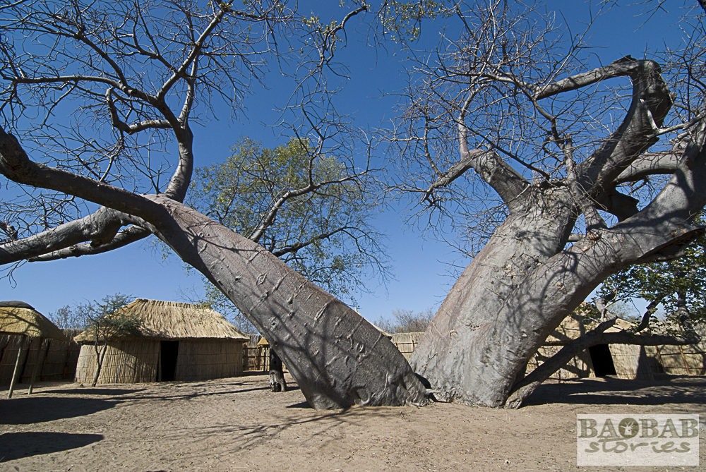 Baobabs im Heritage Center, Namushasha, Heike Pander