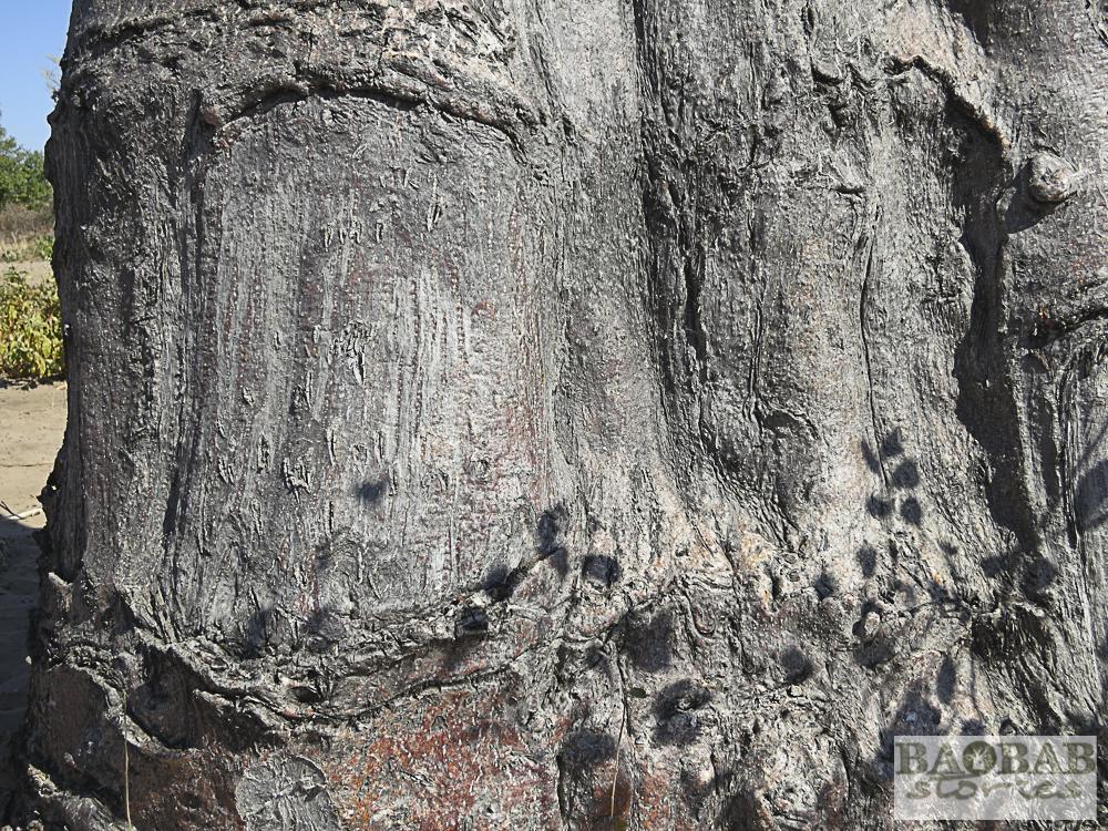 Baobab mit Nutzungsspuren, Namushasha, Namibia, Heike Pander