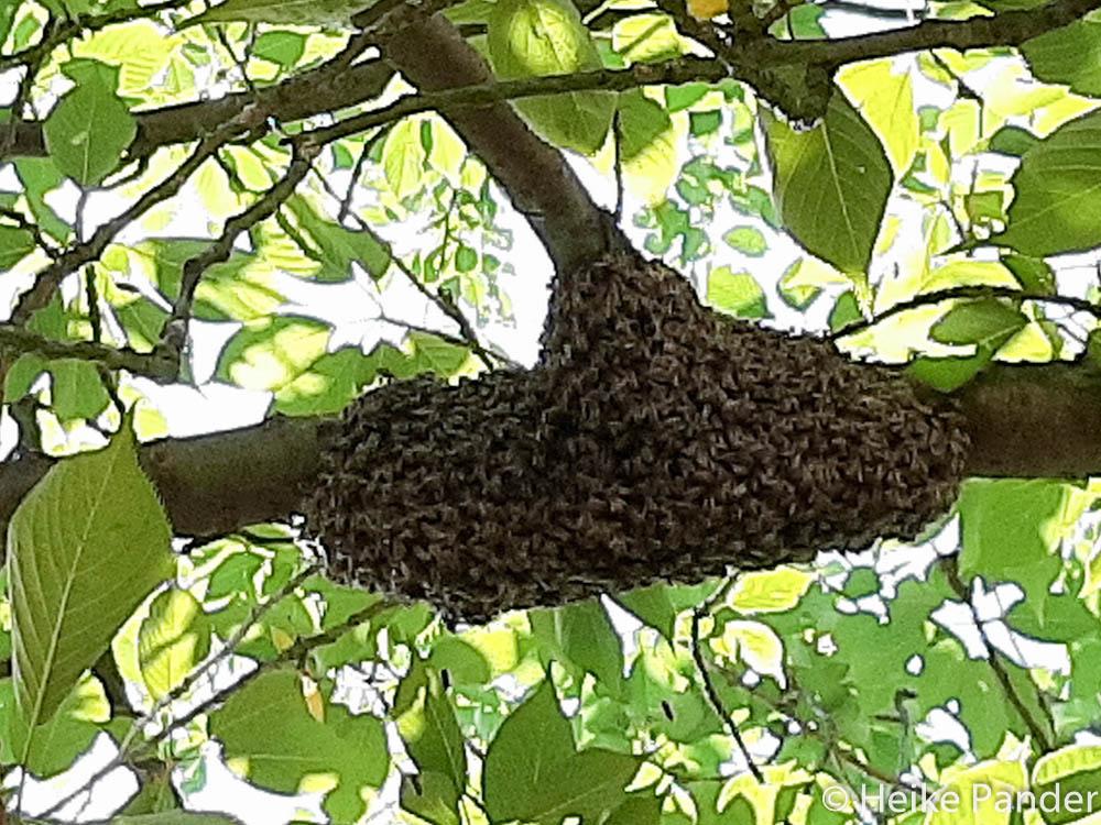 Bienenvolk am Kirschbaum, ©Heike Pander