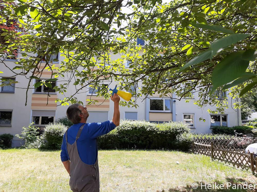 """Peter Schlurmann beim """"Einfangen"""" eines Bienenvolks, ©Heike Pander"""